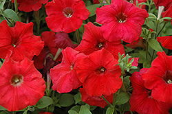 Easy Wave Red Petunia (Petunia 'Easy Wave Red') at Ashcombe Farm & Greenhouses