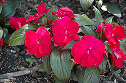 Accent Red Impatiens (Impatiens 'Accent Red') at Ashcombe Farm & Greenhouses