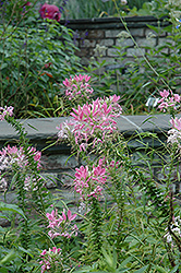 Rose Queen Spiderflower (Cleome hassleriana 'Rose Queen') at Ashcombe Farm & Greenhouses