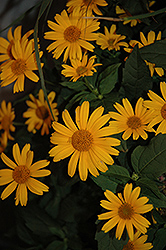 Tuscan Sun False Sunflower (Heliopsis helianthoides 'Tuscan Sun') at Ashcombe Farm & Greenhouses