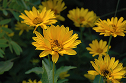 Summer Sun False Sunflower (Heliopsis helianthoides 'Summer Sun') at Ashcombe Farm & Greenhouses