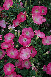 Easy Wave Rosy Dawn Petunia (Petunia 'Easy Wave Rosy Dawn') at Ashcombe Farm & Greenhouses