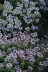 Clear Crystal Lavender Shades Sweet Alyssum (Lobularia maritima 'Clear Crystal Lavender Shades') at Ashcombe Farm & Greenhouses