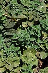 Hot And Spicy Oregano (Origanum 'Hot And Spicy') at Ashcombe Farm & Greenhouses