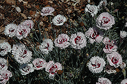 Silver Star Pinks (Dianthus 'Silver Star') at Ashcombe Farm & Greenhouses