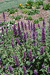 Blue Boa Hyssop (Agastache 'Blue Boa') at Ashcombe Farm & Greenhouses