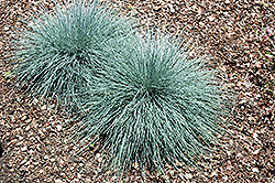Beyond Blue Blue Fescue (Festuca ovina 'Beyond Blue') at Ashcombe Farm & Greenhouses