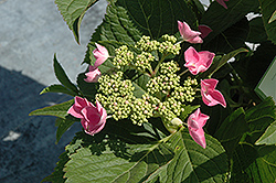 Let's Dance Starlight Hydrangea (Hydrangea macrophylla 'Lynn') at Ashcombe Farm & Greenhouses