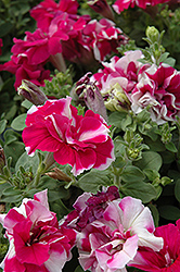 Madness Rose And White Double Petunia (Petunia 'Madness Rose And White Double') at Ashcombe Farm & Greenhouses