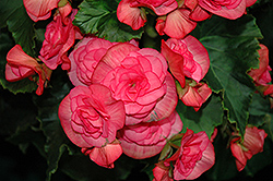 Solenia Dusty Rose Begonia (Begonia 'Solenia Dusty Rose') at Ashcombe Farm & Greenhouses