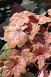 Brass Lantern Foamy Bells (Heucherella 'Brass Lantern') at Ashcombe Farm & Greenhouses
