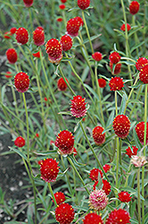 Qis Red Gomphrena (Gomphrena 'Qis Red') at Ashcombe Farm & Greenhouses