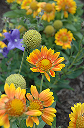 Mesa Peach Blanket Flower (Gaillardia x grandiflora 'Mesa Peach') at Ashcombe Farm & Greenhouses