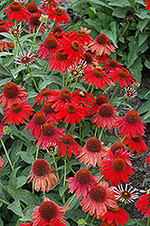 Sombrero Salsa Red Coneflower (Echinacea 'Sombrero Salsa Red') at Ashcombe Farm & Greenhouses