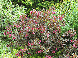 Midnight Wine Weigela (Weigela florida 'Elvera') at Ashcombe Farm & Greenhouses