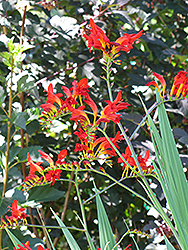Lucifer Crocosmia (Crocosmia 'Lucifer') at Ashcombe Farm & Greenhouses