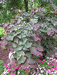Forest Pansy Redbud (Cercis canadensis 'Forest Pansy') at Ashcombe Farm & Greenhouses
