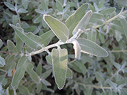 White Sage (Salvia apiana) at Ashcombe Farm & Greenhouses