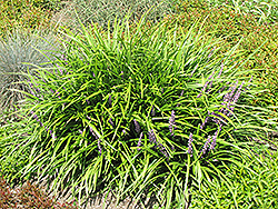Lily Turf (Liriope spicata) at Ashcombe Farm & Greenhouses