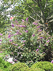 Pink Delight Butterfly Bush (Buddleia davidii 'Pink Delight') at Ashcombe Farm & Greenhouses