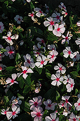 Titan Blush Vinca (Catharanthus roseus 'Titan Blush') at Ashcombe Farm & Greenhouses