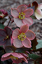 Pink Frost Hellebore (Helleborus 'COSEH 710') at Ashcombe Farm & Greenhouses