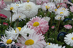Super Enorma English Daisy (Bellis perennis 'Super Enorma') at Ashcombe Farm & Greenhouses