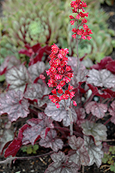 Hollywood Coral Bells (Heuchera 'Hollywood') at Ashcombe Farm & Greenhouses