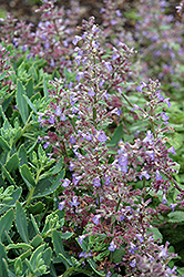Blue Wonder Catmint (Nepeta x faassenii 'Blue Wonder') at Ashcombe Farm & Greenhouses