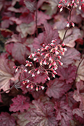 Berry Smoothie Coral Bells (Heuchera 'Berry Smoothie') at Ashcombe Farm & Greenhouses