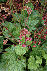 Berry Timeless Coral Bells (Heuchera 'Berry Timeless') at Ashcombe Farm & Greenhouses