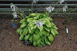 Stained Glass Hosta (Hosta 'Stained Glass') at Ashcombe Farm & Greenhouses