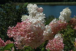Vanilla Strawberry Hydrangea (Hydrangea paniculata 'Vanilla Fraise') at Ashcombe Farm & Greenhouses