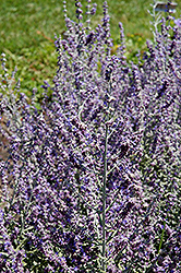 Rocketman Russian Sage (Perovskia atriplicifolia 'Rocketman') at Ashcombe Farm & Greenhouses
