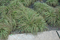 Beatlemania Spring Sedge (Carex caryophyllea 'Beatlemania') at Ashcombe Farm & Greenhouses