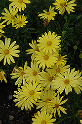 Voltage Yellow African Daisy (Osteospermum 'Voltage Yellow') at Ashcombe Farm & Greenhouses