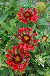 Commotion Frenzy Blanket Flower (Gaillardia x grandiflora 'Commotion Frenzy') at Ashcombe Farm & Greenhouses