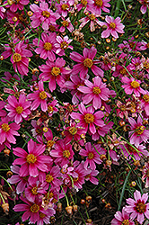 Heaven's Gate Tickseed (Coreopsis rosea 'Heaven's Gate') at Ashcombe Farm & Greenhouses