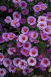 Purple Dome Aster (Aster novae-angliae 'Purple Dome') at Ashcombe Farm & Greenhouses