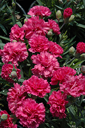 Early Bird Sherbet Pinks (Dianthus 'Early Bird Sherbet') at Ashcombe Farm & Greenhouses