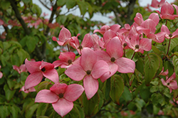 Red Flowering Dogwood (Cornus florida 'var. rubra') at Ashcombe Farm & Greenhouses