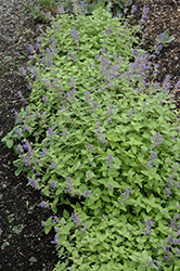 Limelight Catmint (Nepeta x faassenii 'Limelight') at Ashcombe Farm & Greenhouses
