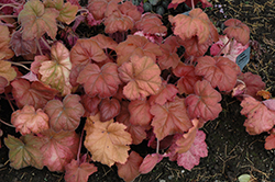 Southern Comfort Coral Bells (Heuchera 'Southern Comfort') at Ashcombe Farm & Greenhouses