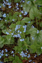 Alexander's Great Bugloss (Brunnera macrophylla 'Alexander's Great') at Ashcombe Farm & Greenhouses