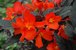 Unstoppable Upright Fire Begonia (Begonia 'Unstoppable Upright Fire') at Ashcombe Farm & Greenhouses