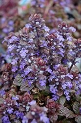 Bronze Beauty Bugleweed (Ajuga reptans 'Bronze Beauty') at Ashcombe Farm & Greenhouses