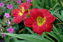 Red Hot Returns Daylily (Hemerocallis 'Red Hot Returns') at Ashcombe Farm & Greenhouses