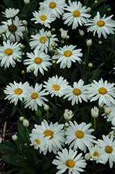 Whoops-A-Daisy Shasta Daisy (Leucanthemum x superbum 'Whoops-A-Daisy') at Ashcombe Farm & Greenhouses