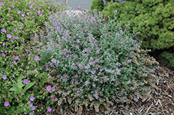 Cat's Meow Catmint (Nepeta x faassenii 'Cat's Meow') at Ashcombe Farm & Greenhouses