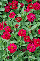 Profusion Double Hot Cherry Zinnia (Zinnia 'Profusion Double Hot Cherry') at Ashcombe Farm & Greenhouses